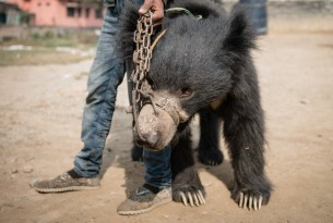 Man holding a dancing bear in Nepal, the bear has ropes through his nose - Bears - World Animal Protection