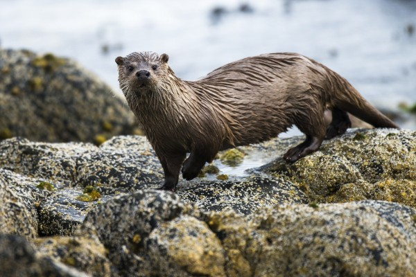 Otter in the wild