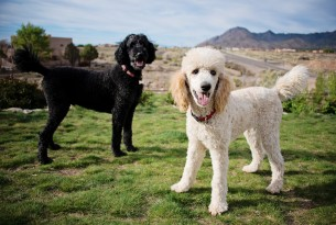 Two poodles on grass