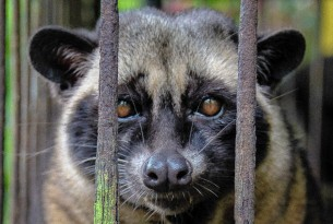 Civet Coffee, Cruelty in Cup