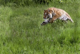 A wild tiger leaping out of grass
