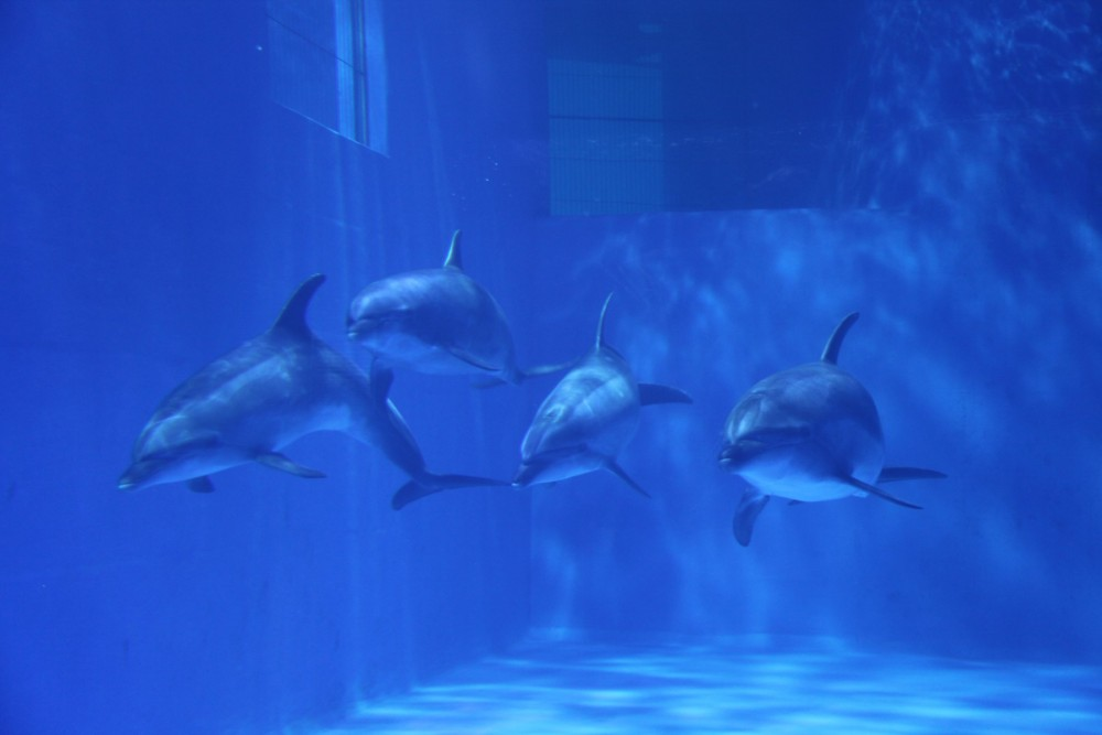 Dolphins in tank