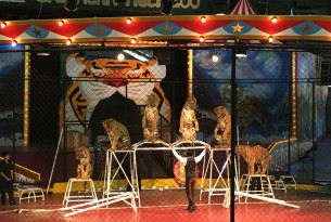 Circus Tiger - World Animal Protection