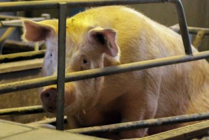 Pictured: A mother pig kept in a sow stall.