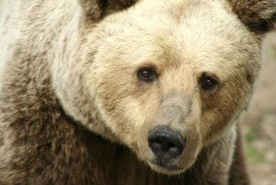 Pictured: A close-up of a resident bear at the Romanian Bear Sanctuary in Zarnesti, Romania.