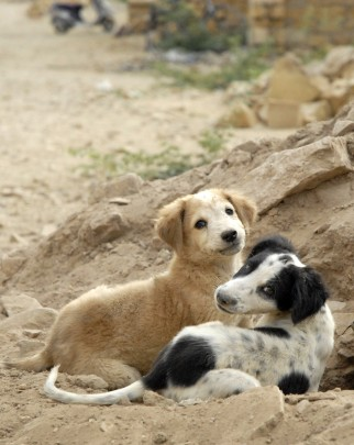 Two stray puppies in Jaisalmer, India.