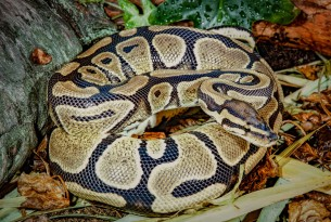 World Animal Protection  - Animals in the wild - Ball pythons are suffering terribly from the global exotic pet trade