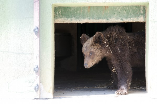 Paddington takes his first steps into the training area at the bear sanctuary