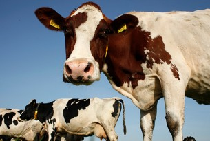 America Dairy Industry - World Animal Protection