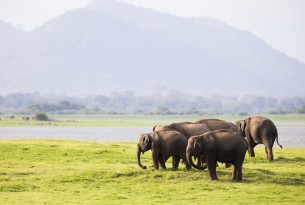 A herd of elephants in the wild in Sri Lanka