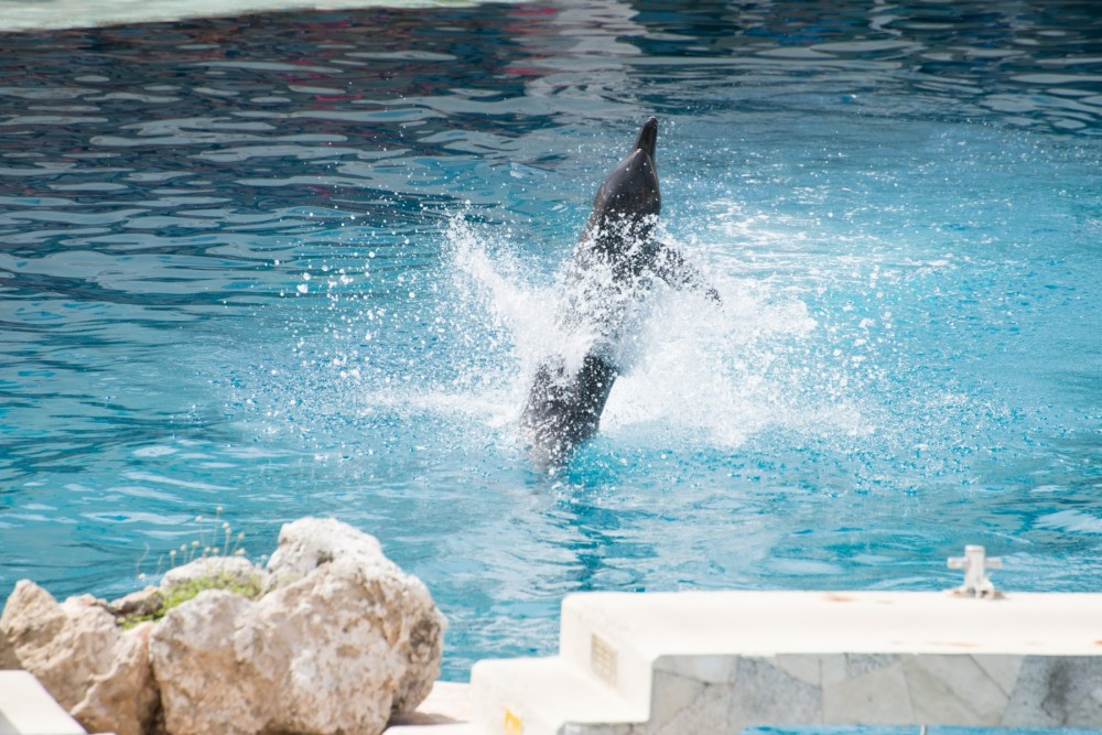 Captive dolphin jumping out of the tank to do a trick