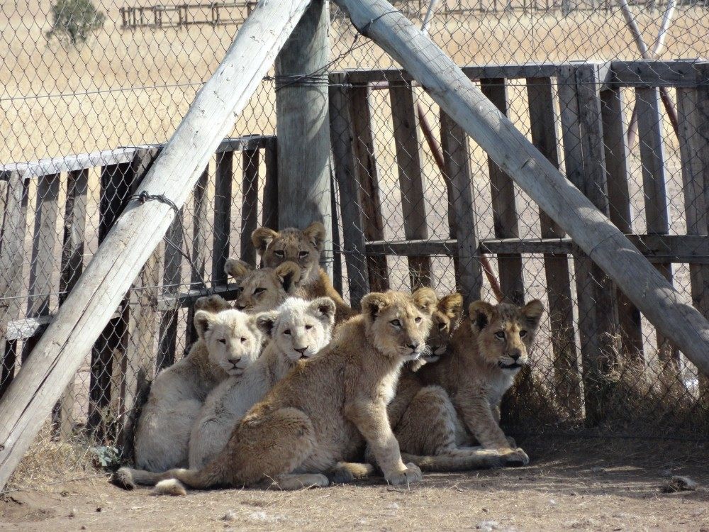 Lion cubs huddled together at a facility in South Africa - Traditional medicine - World Animal Protection