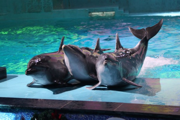 Three dolphins performing at an entertainment park in China - World Animal Protection - Dolphins in captivity