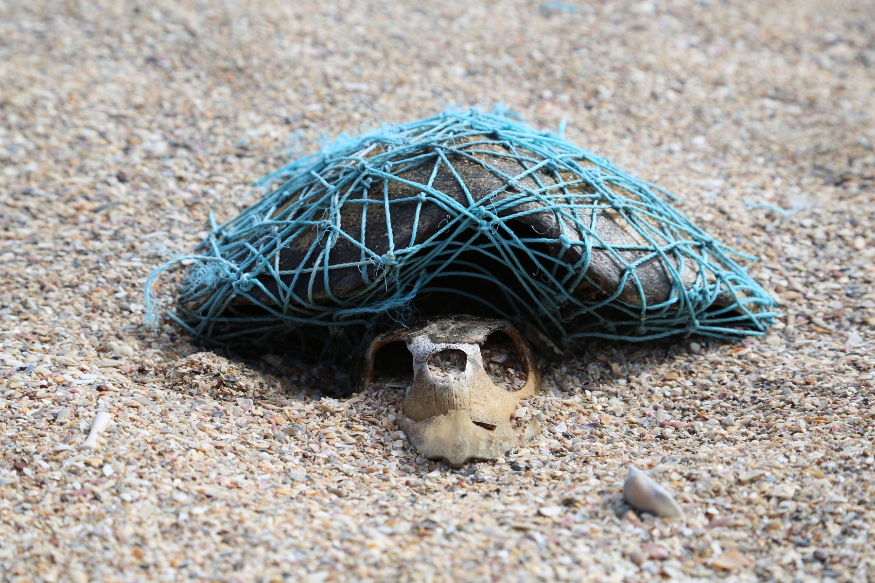 Turtle skeleton wrapped in ghost gear.