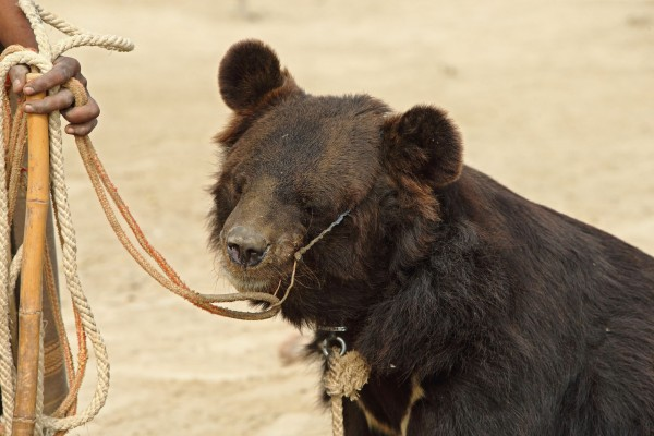 Bear - Animal Cruelty - World Animal Protection