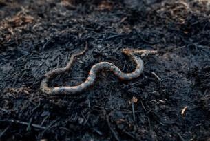 Cobra queimada em uma área que pegou fogo na Amaz?nia