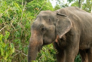 Tanwa, a gentle male elephant at Following Giants