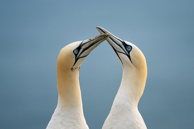 A picture of two northern gannets birds. They have long white necks and long grey beaks.