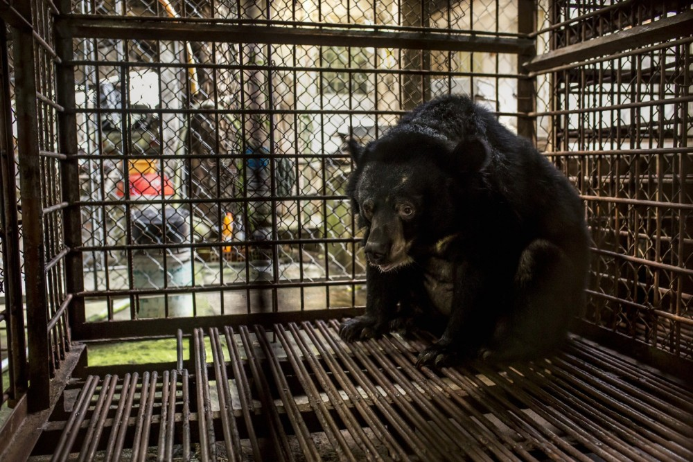 This Asiatic black bear has been kept captive in a very small cage for her entire life and used for bile until the extraction was made illegal in Vietnam in 2005. Credit Line: World Animal Protection / Tim Gerard Barker
