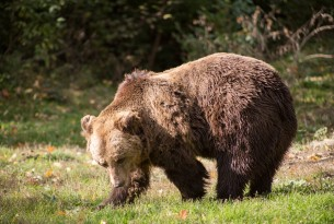 One of the residents at the Romanian bear sanctuary