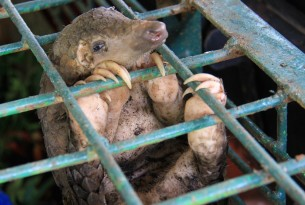 What Is A Pangolin and Why Are They Trafficked?