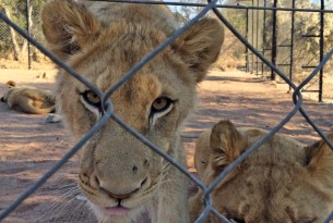 A lion cub behind a fence