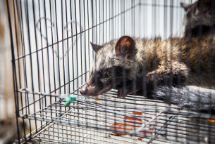 A caged civet at a wildlife market in Bali
