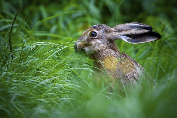 A hare
