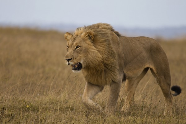 Wild lion in Kenya