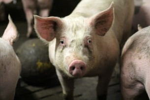 Visit to World Pork Expo provides glimpse at the lives of factory farmed pigs