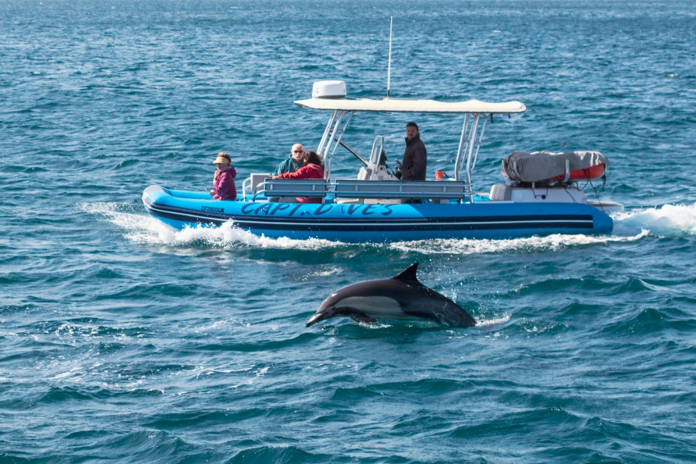 Boat and dolphin in Dana Point, USA - Capt. Dave's Dolphin & Whale Safari