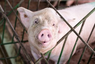A pig in an intensive, cage-system factory farm.