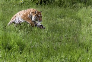 A tiger in long grass