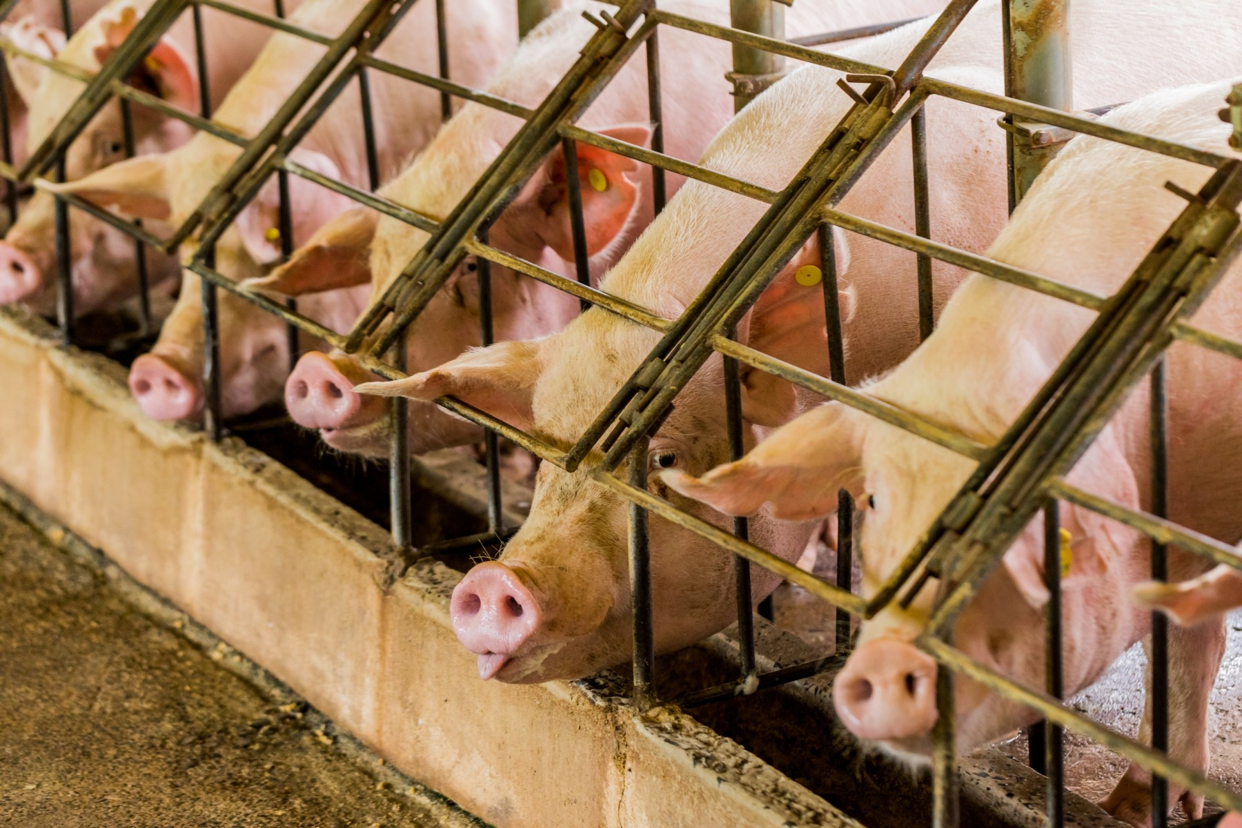 Pigs in a row of cages - World Animal Protection - Animals in farming