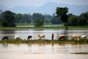 Animals walk through flooded land in Nepal - World Animal Protection - Disaster management