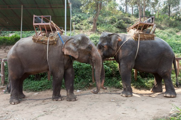 Wild Animal Entertainment - Elephant Ride Cruelty - World Animal Protection