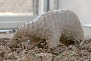 Pangolin seized by the Thai Army - World Animal Protection