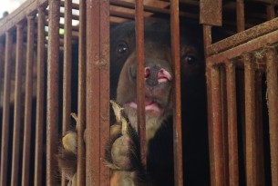Bear in a bear bile facility in Vietnam