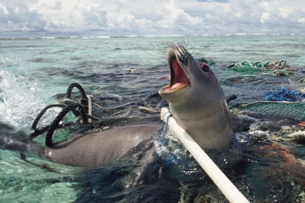 Seal entangled in ghost gear