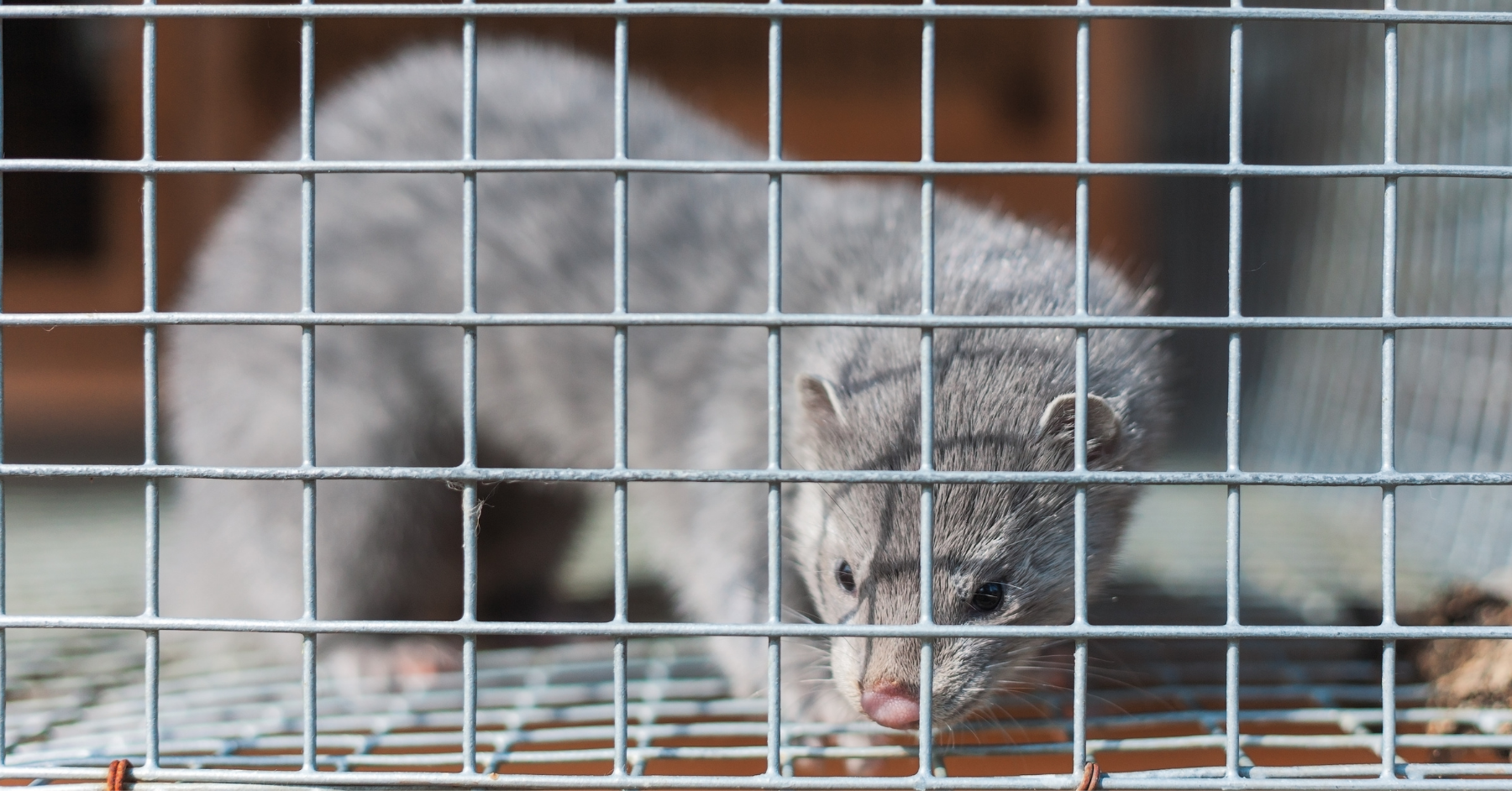 A mink in a small cage