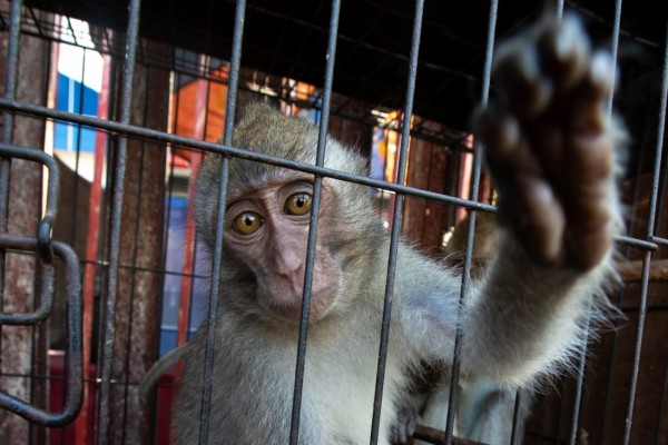 Macaque reach out of cage Jatinegara Jakarta