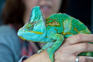 chameleon seized by border authorities