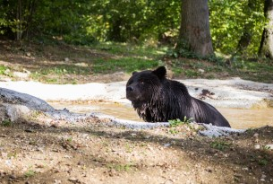Max swimming in the 'spa' at the Romanian bear sanctuary