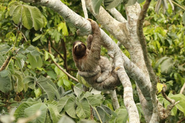 A wild sloth mother and infant in a tree