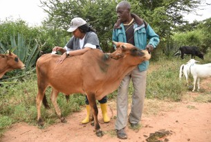 VERU member treats a cow in Makueni