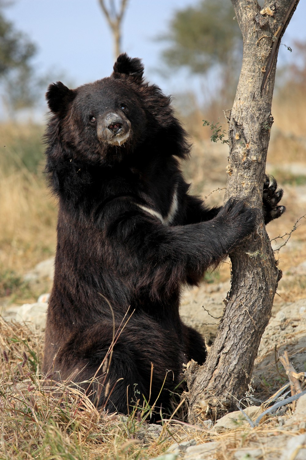 Chowti, a blind female asiatic bear, was used in the bear baiting trade. Her owner refused to give her up for an alternative liveihood and BRC were forced to confiscate her.