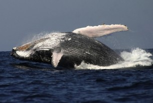 Hopes for whale sanctuary in South Atlantic dashed by pro-whaling countries