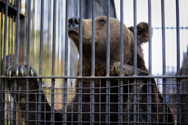 The Onesti Zoo in Romania keeps bears in barren cages with little to no enrichment. They are kept as props for tourist entertainment.