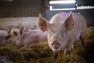 pig, UK