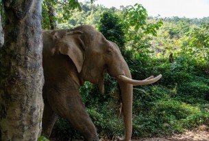 Chok the elephant at Following Giants high welfare venue - World Animal Protection - Animals in the wild